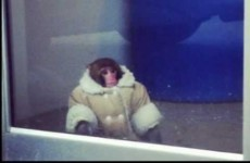 Ikea monkey Darwin to stay in animal sanctuary