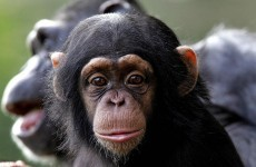 """""""I said COME HERE""""…Chimps use 66 distinct gestures to communicate"""
