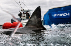 This great white shark is heading for Ireland