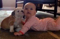 Bulldog puppy kisses baby, causes extreme cutesplosion