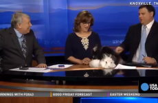 Easter Bunny begins having sex on local news show