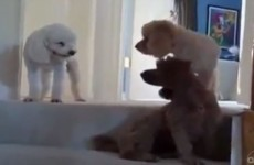 Guilty dog makes a mess, gets ratted out by friends