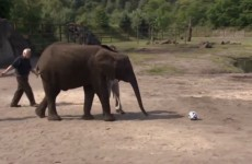 Nelly the elephant packs her trunk and predicts German wins over the USA and Ghana