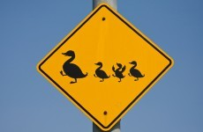 Motorcyclists die after car stops to let ducks cross the road