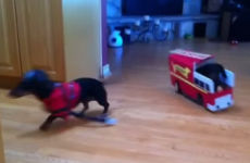 This six-second Dachshund fire drill will make you laugh every time