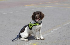 Ralph strikes again: Customs dog sniffs out €500k worth of heroin, ecstasy & cannabis
