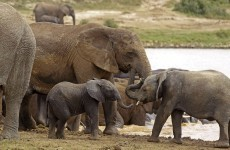 "African elephants could quickly ""be driven to extinction locally"", warns conservation group"