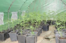 Cannabis plants valued at €96,000 seized in Co Cavan