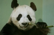 Edinburgh Zoo says its giant panda may have had a miscarriage
