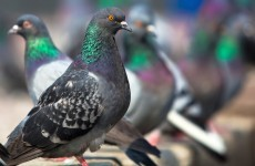Chinese pigeons were given a rectal exam before a national day celebration