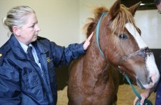 Pony rescued after being found in 'excruciating pain' with head collar embedded in his face
