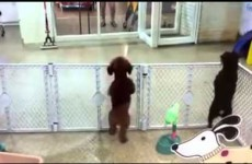 This puppy is ridiculously and adorably excited to see its owner