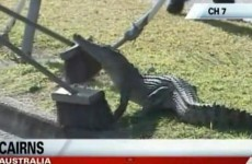 How to… capture a drain-dwelling crocodile