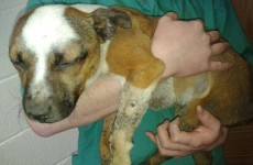This Staffie dog was hogtied and cooked alive over a fire at The Curragh