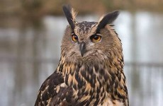 Two owls stolen in overnight open farm robbery