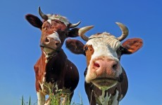 Seen any stolen cows recently? It could earn you €10,000