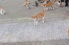 There's an island in Japan where cats outnumber people and it's called 'Cat Island'