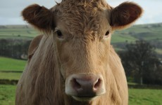 Indian farmers now have to provide mugshots of their cows