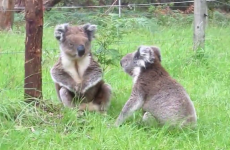 Did you know that koalas could make this hilarious noise?