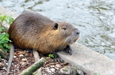 Three-foot rat found swimming in Tipperary river
