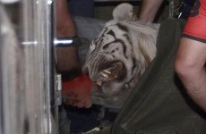 An escaped tiger in Tbilisi has been shot after killing a man