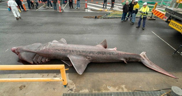 Australian fishermen accidentally catch extremely rare giant basking shark