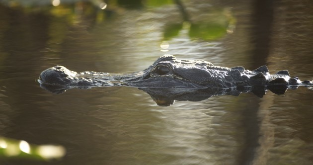 "Man shouts ""f*ck those alligators"", jumps into water, gets eaten by alligators"