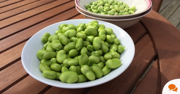 It took 4 hours' work to get these peas and broad beans – but growing your own is worth it