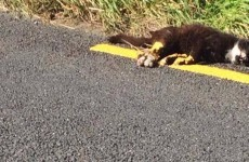Road marking crew paint over dead cat rather than move it