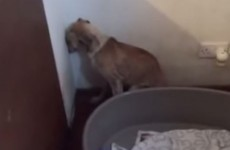 Watch: Video of dog so traumatised by ill treatment she won't look away from the wall