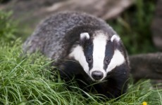 Drunk badger steals seven beers, passes out for two days