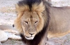 Confusion over whether Cecil the lion's brother has been shot dead