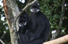 This pair of Langurs have just landed in Cork