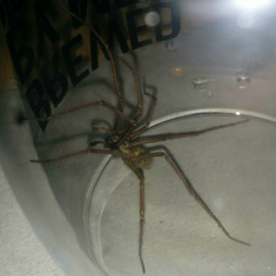Yes, massive spiders are invading Irish homes and here�s why