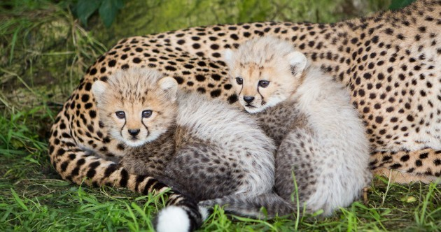 What would you name these lion and cheetah cubs?