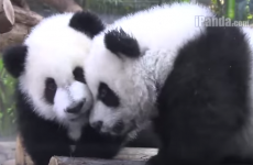Watch these adorable panda triplets play together