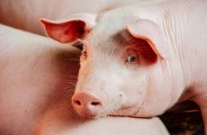 Scientists have been shooting pigs in the head for an experiment