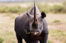 An Irish man has been extradited to the US for trafficking rhinoceros horns