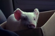 Everyone's fallen in love with this ad about a tiny pig