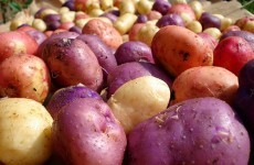 GM potato trials could be held in Carlow