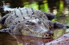 Crocodile blamed for plane crash