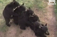 VIDEO: Just a conga line of bears licking each others' heads