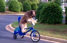 Here is a dog riding a bicycle…