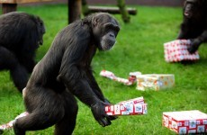 Five chimps escape from German zoo, young girl hurt