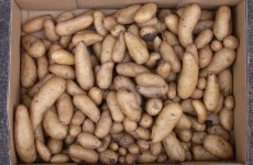 EPA clears way for field trials of blight-resistant GM potato
