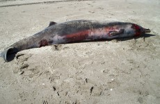 New Zealand beaching proves rarest of whales exists