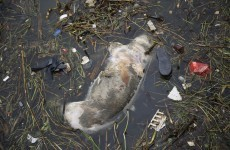 Dead pigs in river show dark side of China food industry