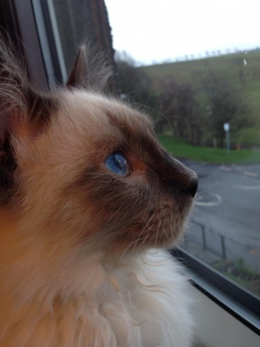 My ragdoll kitten looking out my room window - Imgur
