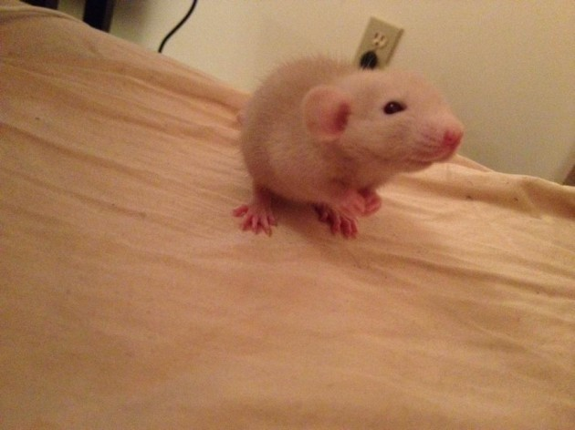 This is my new baby rat Wiz Khalifa - Imgur