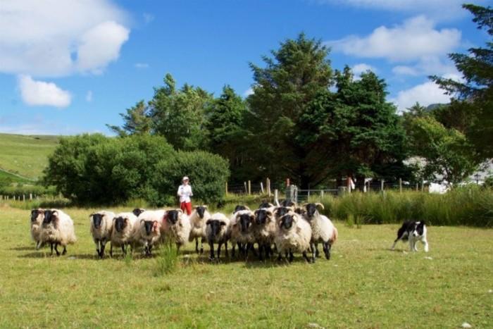 Sheepherding pic 1